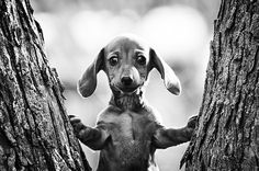 I have a weakness for dachshund puppies. Dachshund Funny, Dachshund Puppies, Dachshund Love, Cute Puppies, Cute Dogs, Dogs And Puppies, Daschund, Love My Dog, Puppy Love