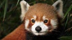 red panda - Bing images