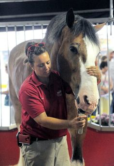 The Budweiser Clydesdales visit the Lehigh Valley
