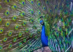 peacock | by Wayne Tilcock