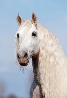 Horse Arabian White