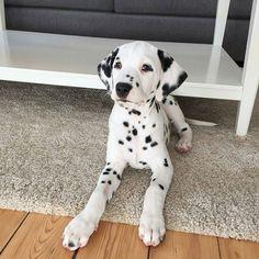 Reposted from @linnealindblom #dalmatian #dalmata #dalmation #dalmatians #dalmatiansofinstagram #dalmatiner #dalmatiannation Tag a friend below by dalmatianlovers #lacyandpaws