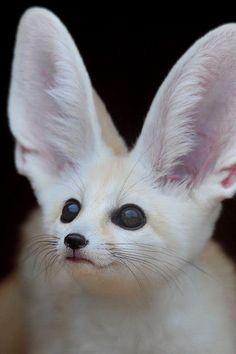 Apparently it's a Fennec Hare.ITS A KITTY WITH BUNNY EARS! - there are no such things as Fennec Hares btw. cute idea though to their -funny stuff! Rare Animals, Cute Baby Animals, Funny Animals, Wild Animals, Unusual Animals, Cutest Animals, Amazing Animals, Animals Beautiful, Tier Fotos