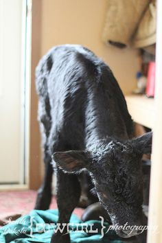 Warming a calf inside the house to keep him alive is often part of the job. (Loved having one inside when I was growing up!)