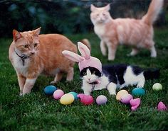 The power of the bunny ears certainly worked out for this cat. Look at how many eggs he found!   Pick up your Easter presents today at www.CanineStyles.com  #spring #Cats #CanineStylesNYC
