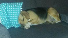 Koosje de beagle sleeping
