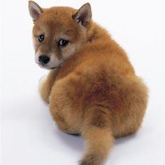 Shiba Inu  Too cute!