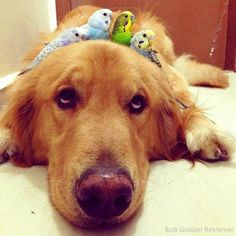 Bob the golden retriever is best friends with eight birds and a hamster. (photos via Animals And Pets, Funny Animals, Cute Animals, Funny Birds, Funny Pets, Hamster Life, Animal Pictures, Cute Pictures, Cute Hamsters
