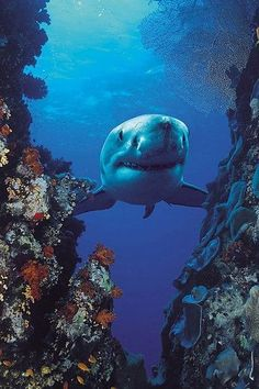 "Great White Shark : "" You are beautyful Sharky "" ! Life Under The Sea, Under The Ocean, Sea And Ocean, Orcas, Beneath The Sea, Water Animals, Underwater Life, Great White Shark, Ocean Creatures"