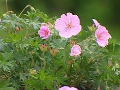 Low-Maintenance Plants for Easy Landscaping: Pink flowers adorn the cranesbill hardy geranium in summer.            Hardy perennial grown for its palmate foliage and pale pink cup-like flowers in summer.        Plant in rich, moist, but well-drained soil.        Plant in full sun to partial shade.        Divide in spring as needed.        Height: 6-10 inches/ Width: 12-14 inches        Hardy in USDA zones 4-8:        Zone 4: Plant in spring to prevent winter he...