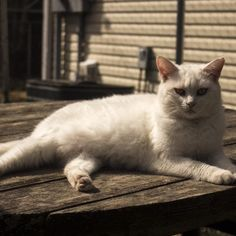 Meet Adeline, an adoptable American Shorthair looking for a forever home. If you're looking for a new pet to adopt or want information on how to get involved with adoptable pets, Petfinder.com is a great resource.