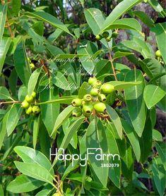 http://g01.a.alicdn.com/kf/HTB16BtrLXXXXXcyXFXXq6xXFXXXo/-100-PCS-Big-Promotion-DIY-Home-Garden-Plant-Santalum-Album-White-Sandalwood-Indian-Sandalwood-Tree.jpg