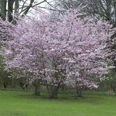 prunus x subhirtella 'autumnalis rosea' Nov-Feb bloom Alchemilla Mollis, Landscaping On A Hill, Garden Makeover, Home Garden Design, Fall Plants, Prunus, Small Trees, Trees And Shrubs, Winter Garden