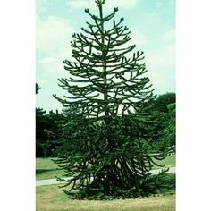 10 Monkey Puzzle Tree Seeds, Araucaria Araucana