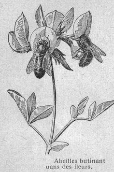 Dessins botanique : Image (38) - Abeilles butinant dans des fleurs.jpg