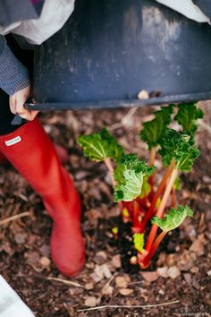 forcing rhubarb- article about growing rhubarb, forcing it and a great recipe for a crumble.