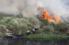 Buffalos escape a fire spreading along the banks by the Yamuna river, in New Delhi, India.