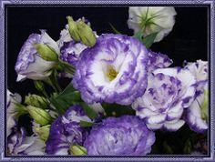 FLORZINHA MESCLADA (Alenilda) Tags: flower flor florzinha mesclada