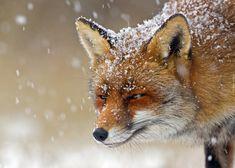Lis, Padający, Śnieg