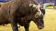 Professional Bull Riders - Morenos adjusting to hauling Bushwacker