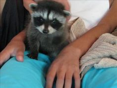 Meet Bandit. Our family is raising an orphaned baby raccoon we named Bandit.