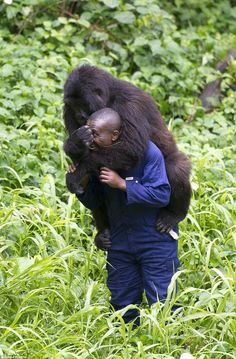 Incredible Images Show The Bond Between Endangered Gorillas And Their Caretakers : http://theawesomedaily.com/bond-between-endangered-gorillas-and-their-caretakers/# #wildlife