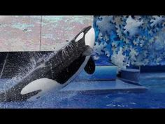 After 33 years in captivity, Tilikum — who was the subject of Blackfish — has died. SeaWorld's announcement that it is ending its orca-breeding program came ...