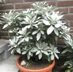 Witte salie planten (Salvia apiana) in Nederland, dat wil ik ook !!!