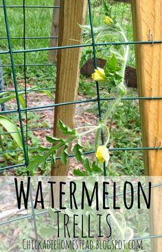 Watermelon vine vining up trellis