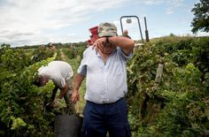 Harvest for the world: France's army of grape-pickers
