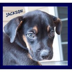 Help Jackson with his Medical/Rescue Expenses - Jackson was rescued from Chesterfield Animal Services in South   Carolina along with his 7 brothers and sisters. Dog4U, Inc. wasn't   planning to take on another litter but when we arrived at the shelter   to pick up a few adults these pups had just ...