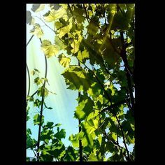 #landscape #summer #summertime #grape #sun #sunday #sunshine #leaves #лето #солнце #каникулы #виноград #листья #небо
