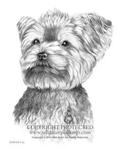 """""""Dutch"""" (adult) - Yorkie pet portrait 11"""" x 14"""" graphite drawing by Catherine Garneau. Commissioned by Joey DiMaio."""