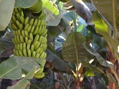 Banana plantation in Tenerife