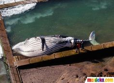 Datang Ke Lokasi Tempat Paus Yang Terdampar Di Pannewport Sydney