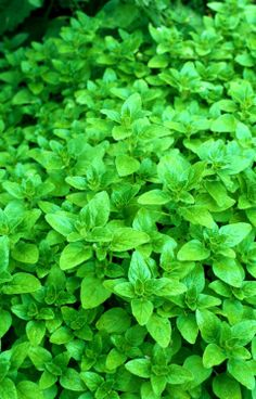 "Greek Oregano Plant- Individually grown and shipped in 3.5"" pots. The generous pot size offers you plants with a well developed root system, giving you a head st.... #live #plant"