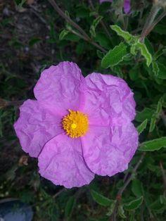 """Fiore di """" Cisto """" simbolo di Sardegna . Sardinia-Cerdeña"""
