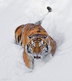700 Ideas De Wild Cats En 2021 Felinos Animales Salvajes Grandes Felinos
