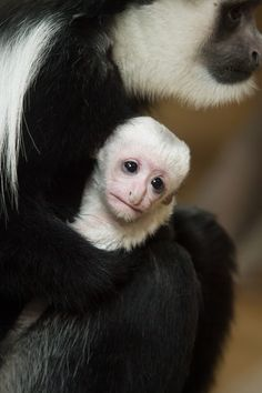 Baby black and white colobus monkey at the Saint Louis Zoo! Photo by Ethan Riepl