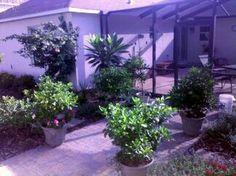 Potted Gardenias