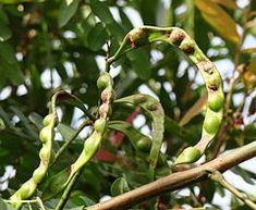 Caesalpinia spinosa - Wikipedia, la enciclopedia libre