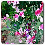 Organic Painted Lady Sweet Pea