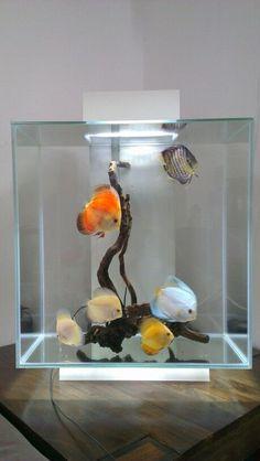 My recent setup - Fluval Edge Aquarium with Discus fish #TropicalFishFreshwater #TropicalFishAquariumIdeas