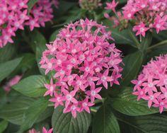Butterfly Deep Pink - Pentas lanceolata