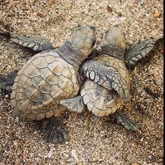 Find images and videos about cute, animals and turtle on We Heart It - the app to get lost in what you love. Reptiles, Amphibians, Lizards, Baby Sea Turtles, Cute Turtles, Tiny Turtle, Turtle Love, Animals And Pets, Baby Animals