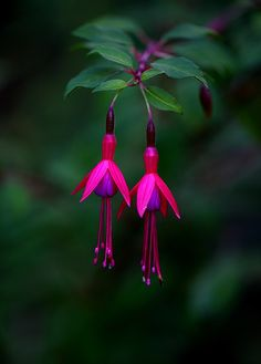 #fuchsia. I used to pretend these were earring when I was a little girl, playing in the garden <3