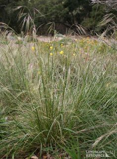 "Stipa pulchra - ""Purple Needle Grass""  Also/previously ""Nassella pulchra"""