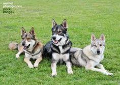 Tamaskan Dog / Tam / Tamaskan Husky / Finnish Dog