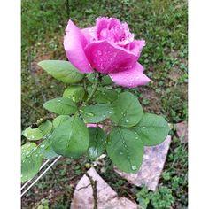 Rosa ammantata di pioggia