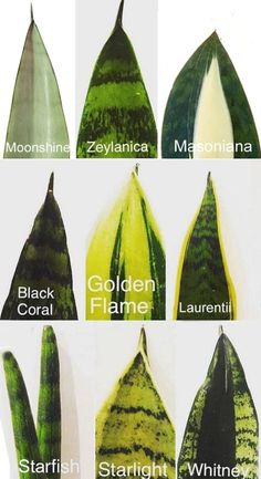 Easy Snake Plant care tips such as sun light, soil, water, temperature, & propagation. How to grow beautiful healthy Sansevieria plants indoors & outdoors! – A Piece of Rainbow #indoorplants #snakeplants #propagation indoor plants, houseplants, gardening, bohemian, living room ideas, boho home décor, #houseplants #gardening #gardeningtips #containergardening #diy #bohemian #bohemiandecor #bohochic #boho #homedecor #homedecorideas boho #bedroom #livingroom Best Indoor Plants, Indoor Garden, Garden Plants, Garden Pool, Easy Care Indoor Plants, Easy House Plants, House Plants Decor, Garden Shrubs, Garden Bed